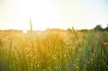 Closeup Of Young Green Wheat O...