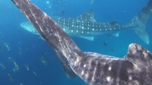 Majestic Whale Sharks Captured...