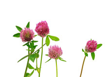Many Clover Wildflowers With P...
