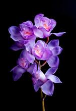 Beautiful Orchids Purple On Bl...