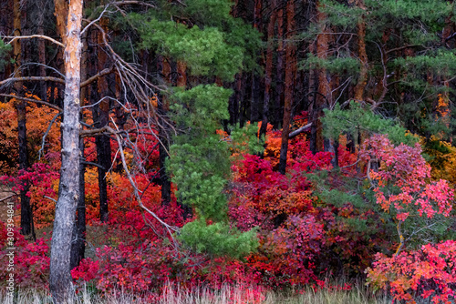 Fototapeta Bright autumn forest with red and orange leaves of smoke tree