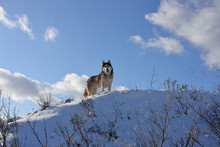 Wolf In The Snow In The Mountains. Wolf In The Wild In Winter. Winter Landscape
