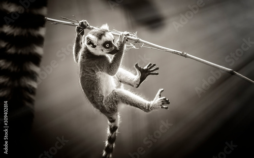 The black-and-white ruffed lemur, black and white. Canvas Print