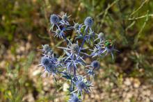 Flowering Purple Wild Thistles (eryngium Planum)