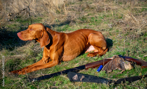 Fotografering A hunting dog lies near a woodcock