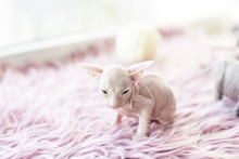 White One Month Old Don Sphinx Cat On Lilac Fur Background