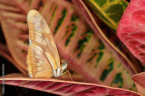 Close-up of a perched Julia longwing, (Dryas julia), butterfly on colorful leaves