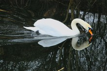 Swan On Water Drinking