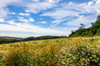 field of  wild flowers and blue sky