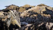 Irish Moss Seaweed And Barnacl...