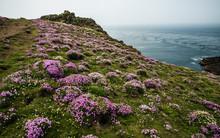 Pink Thrift, Skomer Island, Pembrokeshire, Wales