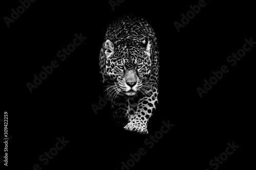 Fototapeta Jaguar with a black background