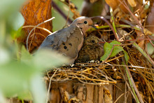 Eared Dove (Tortola Común) L