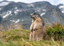 Murmeltier (Marmota) In Den Al...