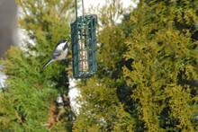 Chickadee Bird Perched On A Suet Bird Feeder In Wintertime