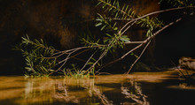 Oleander Branch Touching River Flow