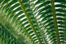 Cycad Plant