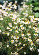 Small, Delicate White Flowers