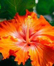 Vibrant Orange Hibiscus Flower
