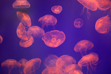 Large Group Of Jelly Fish Swim...