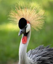 Grey Crowned Crane Closeup Portrait
