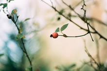 Red Wild Berries Branch In The...