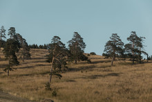 Golden Field Nature