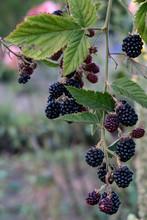 Blackberries Ripen On Branch