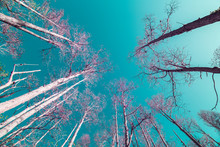 Florida Cypress Trees In Infrared