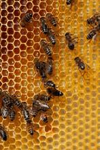 Closeup Of Bees On Wax Honeycombs