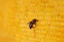 Bee In Wax Honeycomb