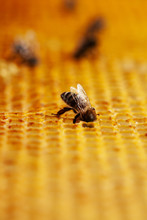Tiny Bee In Golden Honeycomb