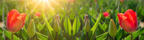 Obraz Panoramic landscape of blooming red tulips field illuminated by the sun in spring - fototapety do salonu