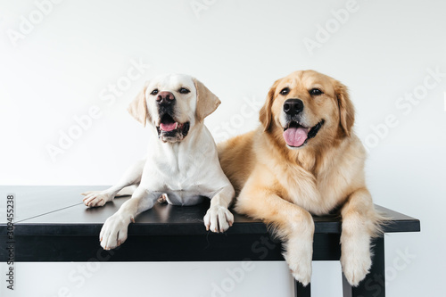 Headshots of very cute golden retriever and labrador against white background Canvas Print