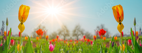 Panoramic landscape of blooming tulips field illuminated in spring by the sun #309457047