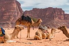 Camels Resting Near High Stone...