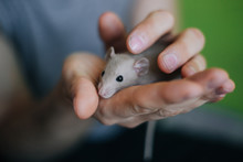 Little Beige Rat In The Hands Of A Man. A Man Holds A Dumbo Mouse In His Hands On A Green Background.