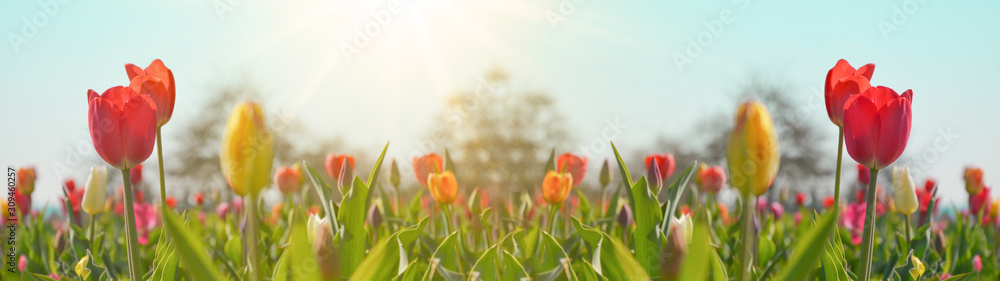 Fototapeta Panoramic landscape of blooming tulips field illuminated in spring by the sun