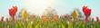 Leinwandbild Motiv Panoramic landscape of blooming tulips field illuminated in spring by the sun
