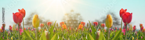 Photo Panoramic landscape of blooming tulips field illuminated in spring by the sun