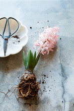 Unearthed Pink Hyacinth Bulb F...