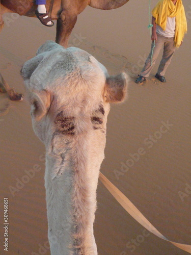 Fotografie, Obraz  Camel neck and head and ears from rider's perspective