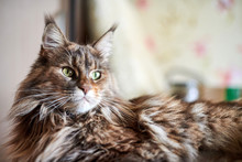 Maine Coon Cat, Close Up. Funn...