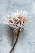 Withered, Dried Flower, Botanical Still-life