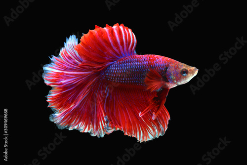 siamese fighting fish isolated black background Wallpaper Mural