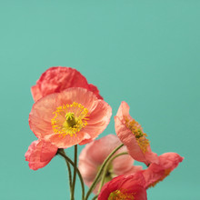 A Bouquet Of Vibrant Pink And Red Iceland Poppies Against A Bright Turquoise Background