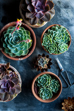 Green, Grey And Purple Succulents Planted In Rusty Pastry Baking Tins And Terracotta Planters