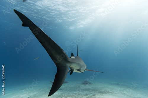 shark in the sea Canvas Print