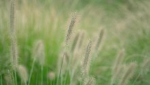 Close Up Of Lively Green Foxtails On The Grassland Swinging In The Air In Summer With The Background Of Nature.