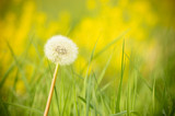 Fototapeta Dmuchawce - A lonely dandelion full of seeds, grows on green grass.